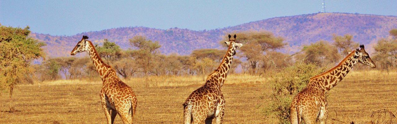 10 Days East African Gorilla & Wildlife Safari