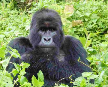 3 Days Bwindi Gorillas from Entebbe