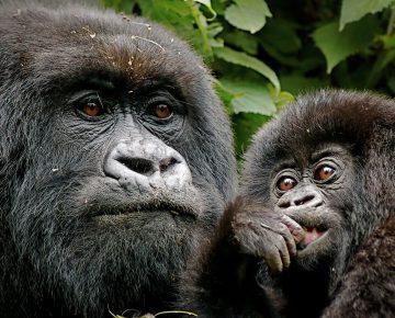 3 Days Rwanda Gorillas & Golden Monkey Trekking