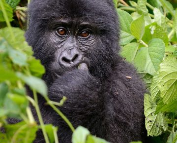 3 Days Uganda Gorillas & Golden Monkeys from Kigali