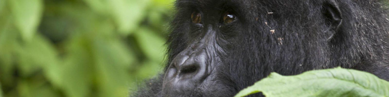 3 Days Virunga Gorilla Trekking Congo