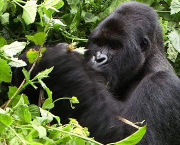 4 Days Congo