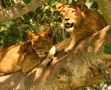 4 Days Queen Elizabeth Wildlife Tour