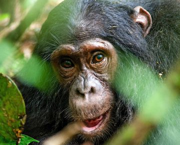 4 Days Uganda Chimps & Wildlife Safari