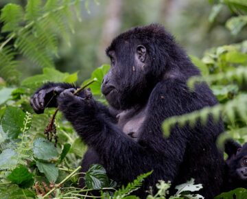 5 Days Bwindi Triple Gorilla Trek