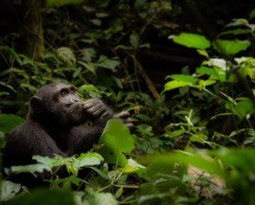 6 Days Uganda Primates & Wildlife Safari from Kigali