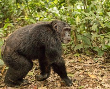 4 Days Nyungwe Chimpanzee Trekking Rwanda