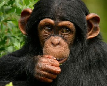 3 Days Uganda Chimpanzee Trekking in Kibale