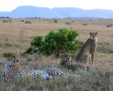 10 Days Bwindi Gorillas, Masai Mara & Serengeti Wildlife Safari