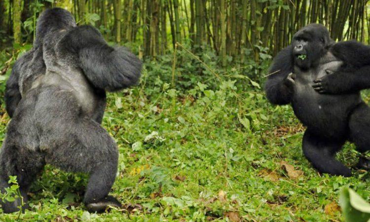 About Silverback Gorillas