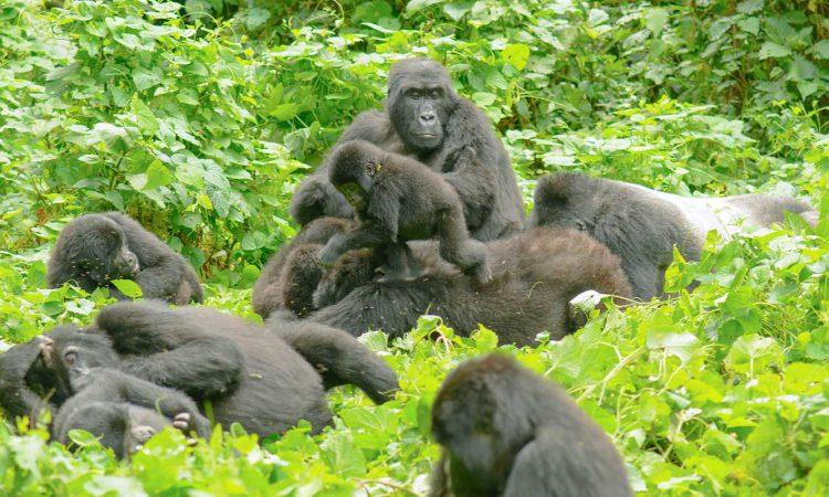 Habinyanja Gorilla Group