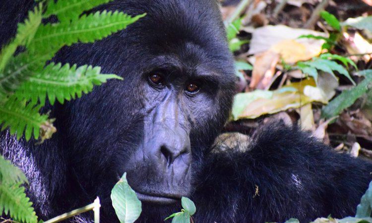 Mountain Gorilla Population