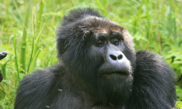 Oruzogo Gorilla Group