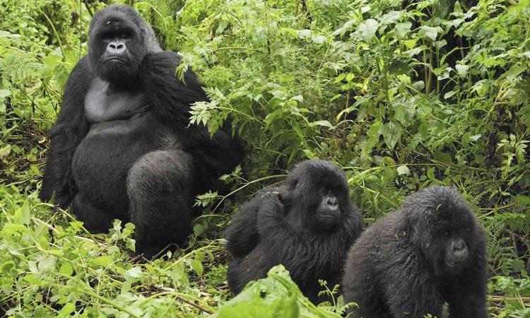 Rwigi Gorilla Group